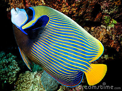 Pomacanthus imperator - Angel Fish Imperator