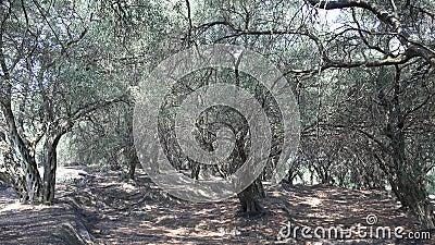 Pomar de Oliva de 4K, Árvores Grécia Vista no Verão, Fazenda Petrolífera, Colheita video estoque