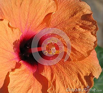 Pomarańcze hibiskus