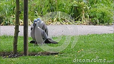 Pombo torcaz britânico que executa um ritual de acoplamento em um parque de kent filme