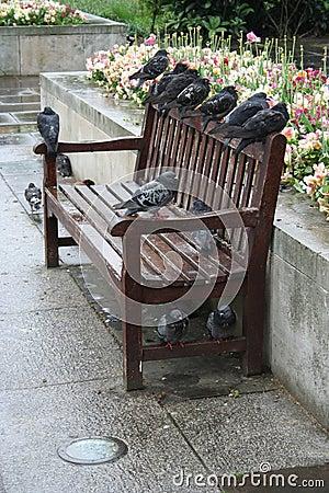 Pombos que roosting em um banco