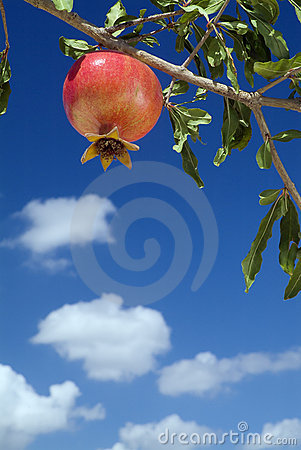 Free Pomegranate On Branch Royalty Free Stock Photography - 3233857