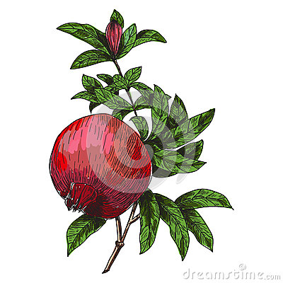 Pomegranate Punica granatum branch with fruit and leaves. Hand drawn botanical vector illustration. Vector Illustration