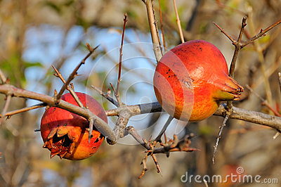 Pomegranate in the wild