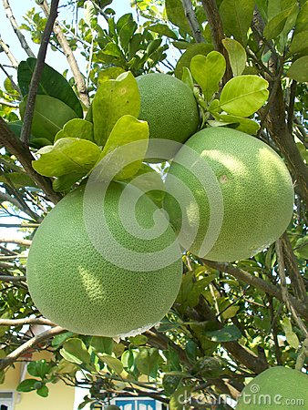Free Pomelo Pummelo Royalty Free Stock Photo - 99560065