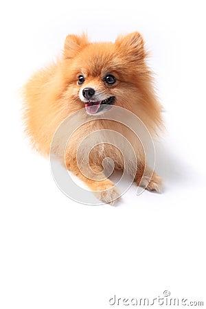 Pomeranain dog