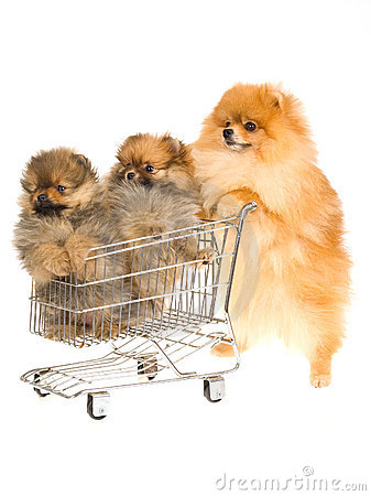 Pomeranian with 2 puppies in mini shop cart