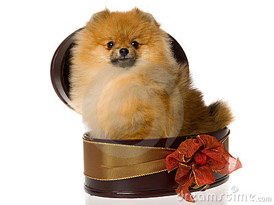 Pomeranian in brown gift box