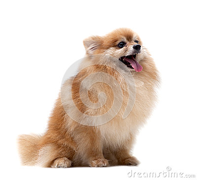Pomeranian dog isolated