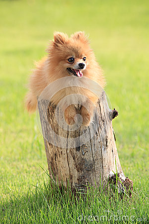 Pomeranian dog lied on tree bark