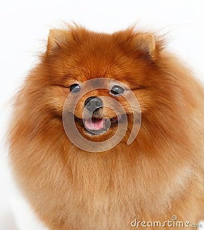 Free Pomeranian Dog  Of White Background Royalty Free Stock Photo - 90715055