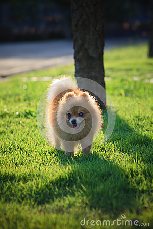 Pomeranian dog running green grass