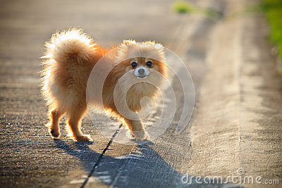 Pomeranian dog running on the village street