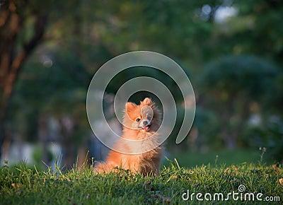 Pomeranian dog sitting on green grass