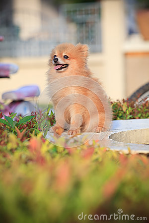 Pomeranian dog sitting in home garden