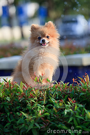 Pomeranian dog sitting and watching in home garden