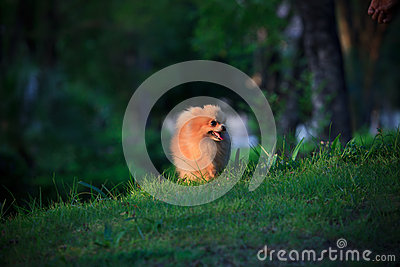 Pomeranian dog walking on green grass