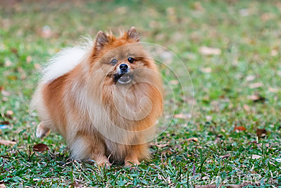 Pomeranian doing the symbol to declare its territo