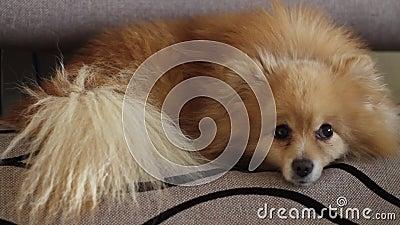 Pomeranian pelucheux drôle dort sur le divan banque de vidéos