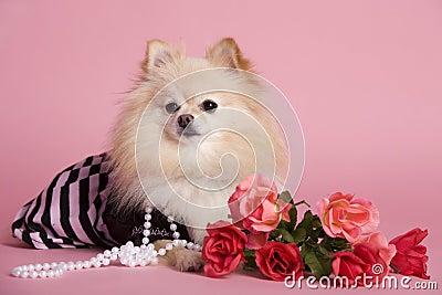 Pomeranian Pink