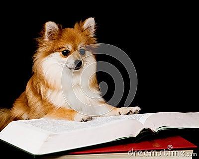 Pomeranian Prodigy