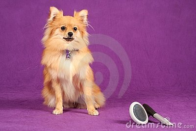 Pomeranian Puppy Dog with Grooming Brushes