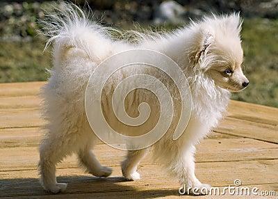 Pomeranian puppy named Bentley