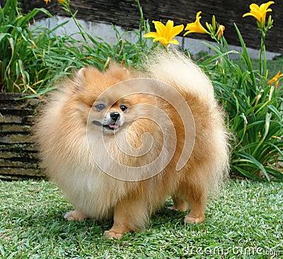 Pomeranian Spitz Stock Image Image 1274901