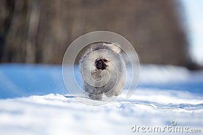 Spitz puppy