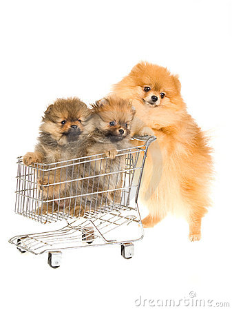 Pomeranian with two pups in shopping cart