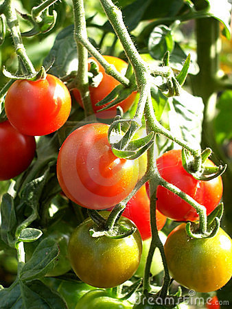 Pomodori 11