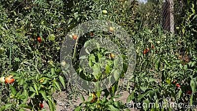 Pomodori, pepe stock footage