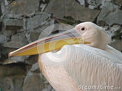 Pompous pelican