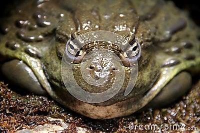Pompous Toad