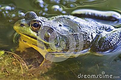 Pond Frog Up Close