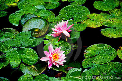 Pond lilies on the leaves