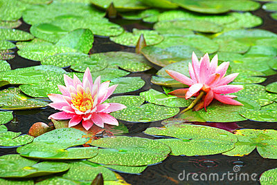 Pond lilies in the rain