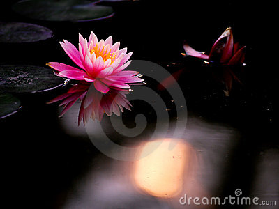 Pond lily and sunset