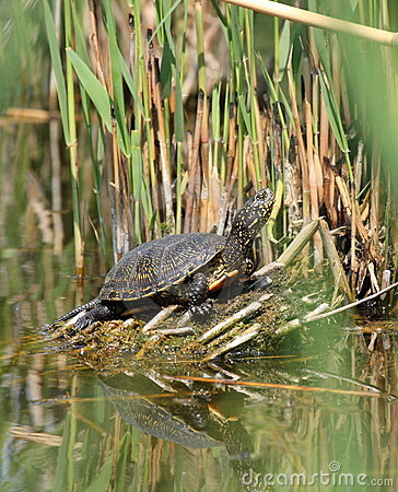 Free Pond Terrapin Stock Photography - 17169562