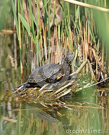 Pond terrapin