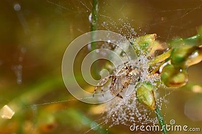 Pond wolf spider