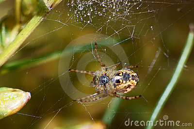 Pond Wolf Spider Stock Images - Image: 22691244
