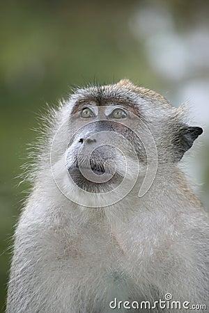 Ponder monkey