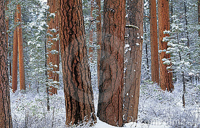Ponderosa forest in snow