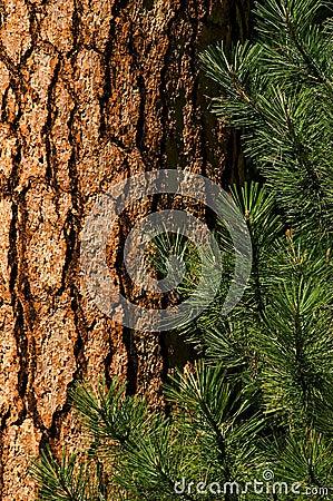 Free Ponderosa Pine Stock Photos - 9769633