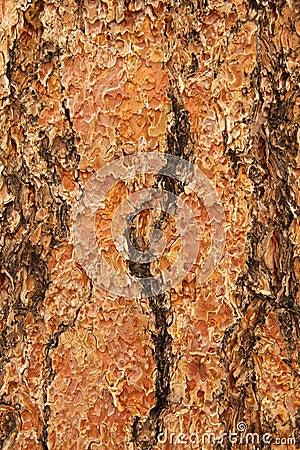 Free Ponderosa Pine Bark Stock Photography - 26707702