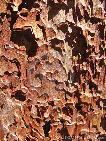 Ponderosa pine bark closeup
