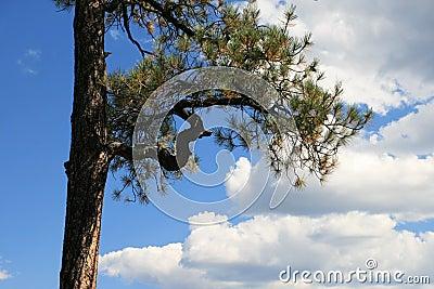 Ponderosa pine branch