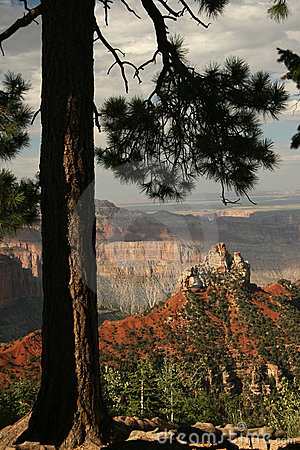 Ponderosa Pine - Grand Canyon, Arizon