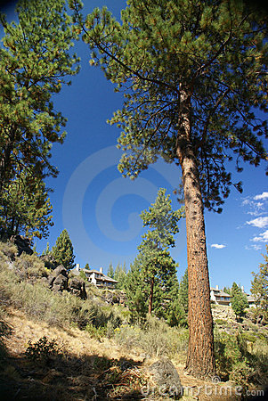 Ponderosa Pine, on hillside